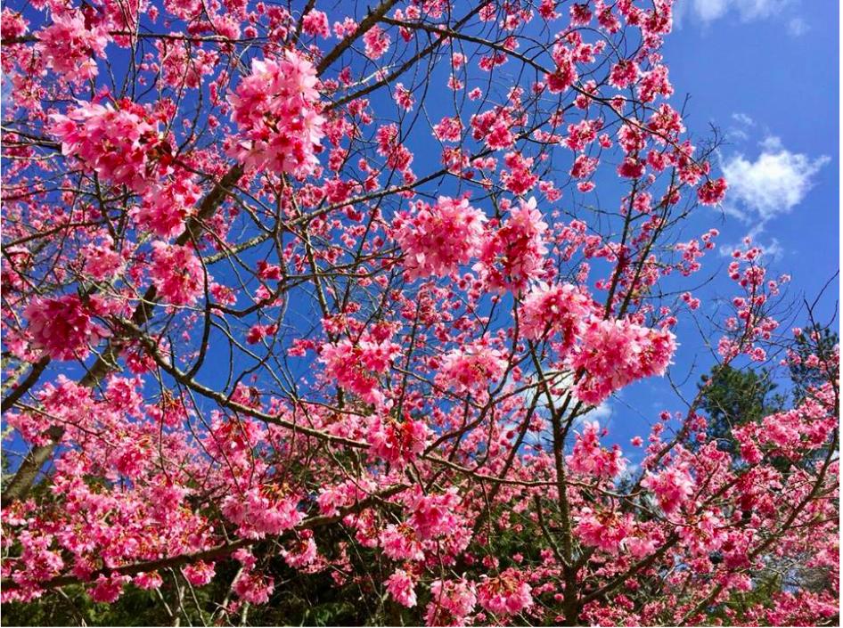 櫻花、風鈴木、紫藤花—春天12處花季賞花景點特搜